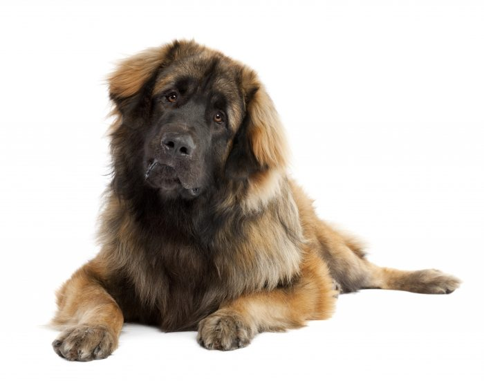 Grooming for huge dog with dense hair