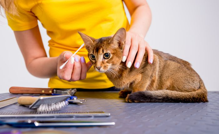 Professional cares for a Abyssinian cat in a specialized salon. Groomers holding tools at the hands.