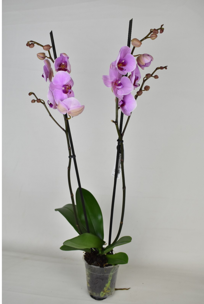 Phalaenopsis Plant Light Pink