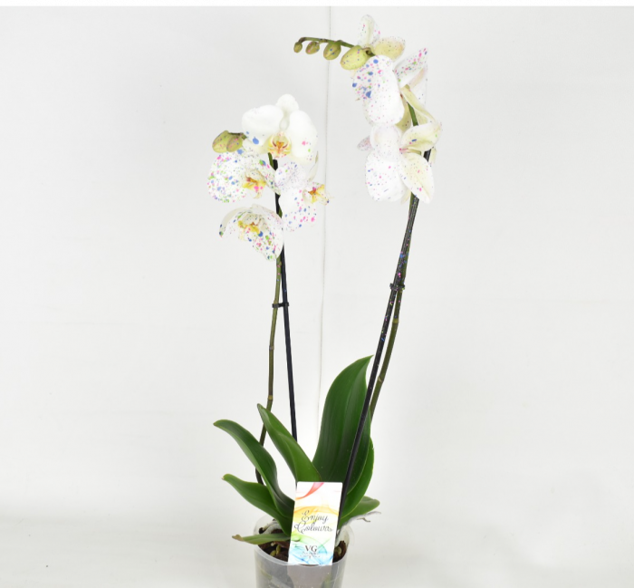 Phalaenopsis-white-orchid-flower-grow-shopgrow-kuwait-indoor-plant