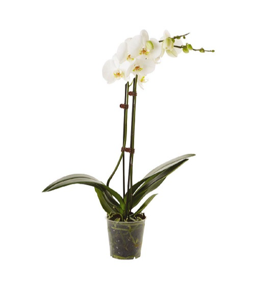 Phalaenopsis white world orchid flower indoor plant