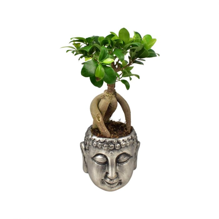 Ficus Ginseng Plant